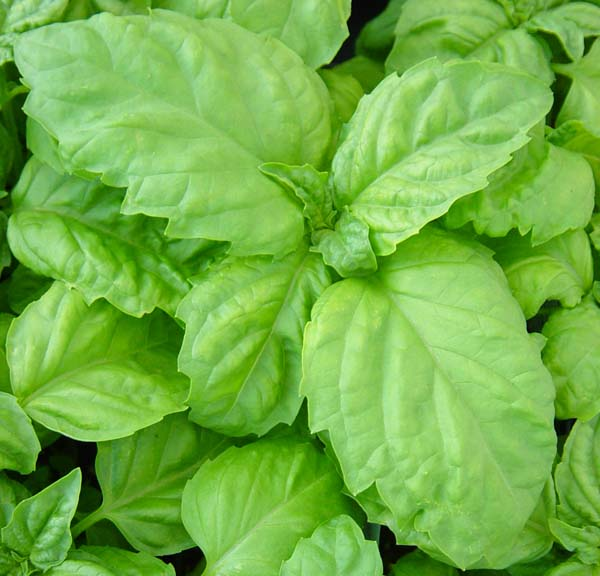 vegetative basil