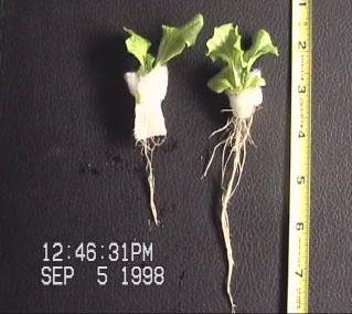 nasa aeroponic root development.