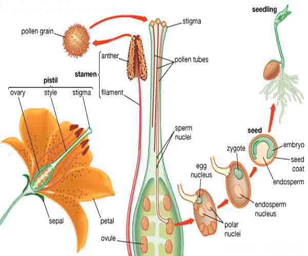 reproductive-stage